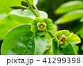 花 植物 柿の写真 41299398