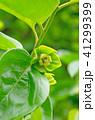 花 植物 柿の写真 41299399
