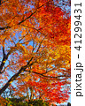 紅葉 楓 もみじの写真 41299431