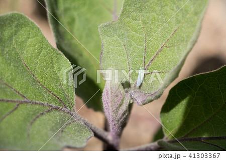 チャノミドリヒメヨコバイの成虫(なすびの葉) 41303367