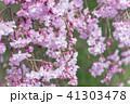 枝垂れ桜 41303478