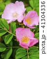 花 ハマナス ピンクの写真 41304336