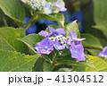 あじさい 紫陽花 花の写真 41304512