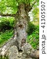 巨樹 欅 古木の写真 41305507