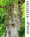 巨樹 欅 古木の写真 41305564