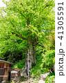 巨樹 欅 天然記念物の写真 41305591