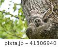 エゾフクロウの子供 41306940