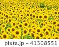 ヒマワリの花畑 41308551