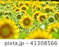 夏 向日葵 ひまわりの写真 41308566