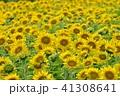 夏 向日葵 ひまわりの写真 41308641