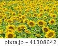 夏 向日葵 ひまわりの写真 41308642