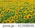 夏 向日葵 ひまわりの写真 41308646