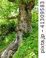 巨樹 欅 古木の写真 41309583