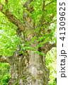 巨樹 欅 古木の写真 41309625