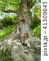 巨樹 天然記念物 欅の写真 41309645