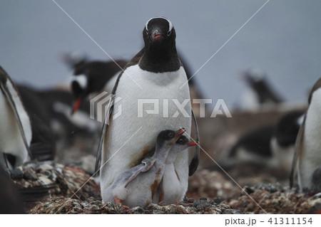 ジェンツーペンギン 41311154