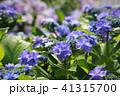 あじさい 紫陽花 花の写真 41315700