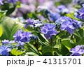 あじさい 紫陽花 花の写真 41315701