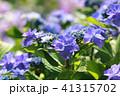 あじさい 紫陽花 花の写真 41315702