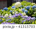 あじさい 紫陽花 花の写真 41315703