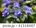 紫陽花 花 植物の写真 41316487
