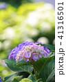 あじさい 紫陽花 花の写真 41316501
