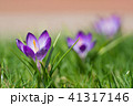 庭のクロッカス 41317146
