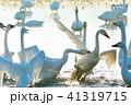 白鳥の闘争(コハクチョウの縄張り争い)高画質写真 41319715