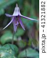 カタクリ 花 紫色の写真 41321882