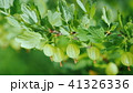 Green branch with gooseberry berries 41326336