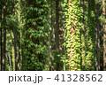 ツタ 木 針葉樹の写真 41328562