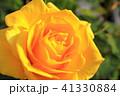 黄色い薔薇 41330884