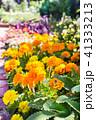 マリーゴールド 花壇 花の写真 41333213