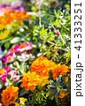 マリーゴールド 花 植物の写真 41333251