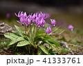 カタクリ ピンク 花の写真 41333761