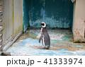 フンボルトペンギン ペンギン 動物の写真 41333974
