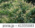 アカメガシワの花 41335083