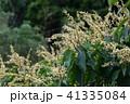 アカメガシワの花 41335084