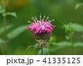 タイマツバナ 41335125