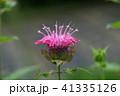 タイマツバナ 41335126