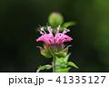 タイマツバナ 41335127