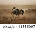 ヌー ウシカモシカ 哺乳類の写真 41336097