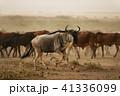 ヌー ウシカモシカ 哺乳類の写真 41336099