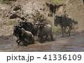 ヌー ウシカモシカ 哺乳類の写真 41336109
