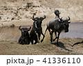 ヌー ウシカモシカ 哺乳類の写真 41336110