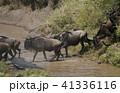 ヌー ウシカモシカ 哺乳類の写真 41336116