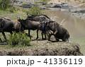 ヌー ウシカモシカ 哺乳類の写真 41336119