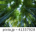 竹 竹林 植物の写真 41337928