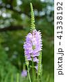 ハナトラノオ 花 植物の写真 41338192
