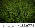 草 芝生 芝 41339774